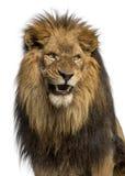 Närbild av ett lejon som vrålar, PantheraLejonet, 10 gamla som år isoleras Royaltyfria Foton