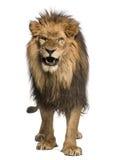 Närbild av ett lejon som vrålar, PantheraLejonet, 10 gamla som år isoleras Arkivfoton