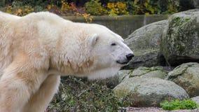 Närbild av ett polarbear icebear i capticity fotografering för bildbyråer