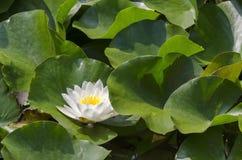 Närbild av ett vitt vatten lilly och lilly block i sjön Arkivbild