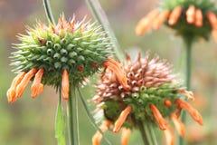 Närbild av fältet av orange blommor för bibalsam Royaltyfria Foton