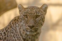 Närbild av framsidan och blicken av en leopard royaltyfri fotografi