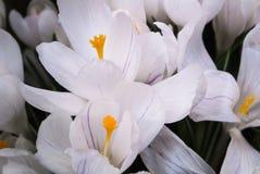 Närbild av frodiga vibrerande vita krokusar med violetdetaljer på mörk bakgrund arkivbild