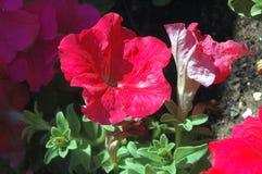 Närbild av fulla röda petuniablom med naturligt fullt varmt solljus för morgon royaltyfri bild