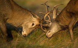 Närbild av fullvuxen hankronhjortkampen för röda hjortar royaltyfri bild