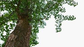 Närbild av ginkgoen, Ginkgo Biloba arkivbild