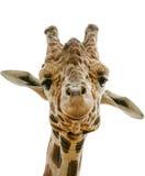 Närbild av giraffet med vit bakgrund Arkivfoto