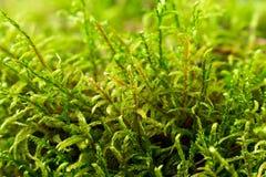 Närbild av grön mossa i det ljusa solljuset för skog Royaltyfri Fotografi
