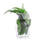 Närbild av gröna citrussidor i det genomskinliga exponeringsglaset som är full av vatten Ljusa nya sidor som isoleras på den vita royaltyfri bild