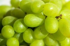 Närbild av gröna druvor royaltyfria bilder