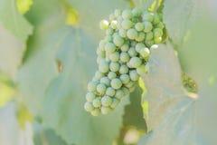 Närbild av gröna druvor som mognar på vinranka i vingård royaltyfria foton