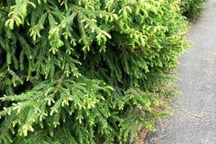 Närbild av granträd med unga gröna forsar arkivfoton