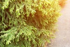 Närbild av granträd med unga gröna forsar arkivbild