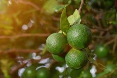 Närbild av gruppgräsplanlimefrukter royaltyfri bild