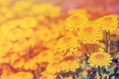 Närbild av gula blommor med mjuk-fokusen i filter för solljusbruk Royaltyfria Foton