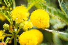 Närbild av gula den akaciablomningar och taggen royaltyfri bild