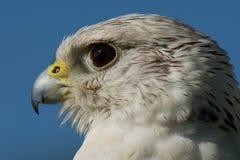 Närbild av gyrfalconhuvudet med blå himmel Royaltyfria Bilder