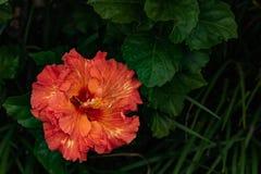 Närbild av härlig oavkortad blom för orange och gul hibiskusblommablomning i det Hawaii paradiset, blom- trädgårdbakgrund, lopp fotografering för bildbyråer