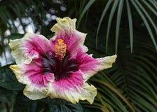 Närbild av härlig vitt, magentafärgat och djupt - oavkortad blom för purpurfärgad hibiskusblommablomning i det Hawaii paradiset,  arkivbilder