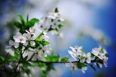 Närbild av härliga körsbärsröda blomningar Royaltyfri Bild