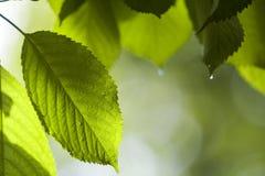 Närbild av härliga nya nya skinande sidor av det körsbärsröda trädet med Arkivbilder
