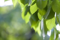 Närbild av härliga nya nya skinande sidor av det körsbärsröda trädet med Arkivbild