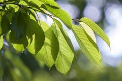 Närbild av härliga nya nya skinande sidor av det körsbärsröda trädet med Royaltyfri Foto