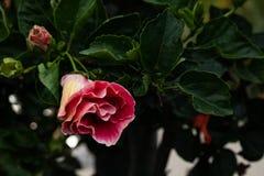 Närbild av härligt djupt - röd magentafärgad hibiskusblommablomning omkring som blommar i det Hawaii paradiset, blom- trädgårdbak royaltyfria foton