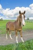 Närbild av hästen i äng Arkivbilder