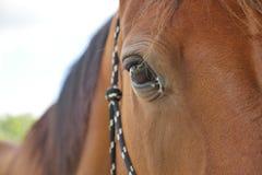 Närbild av hästen i lantgård Arkivbild