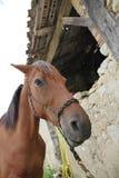 Närbild av hästen i lantgård Arkivfoton