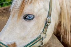 Närbild av hästs huvud med det blåa ögat och halteren royaltyfri fotografi
