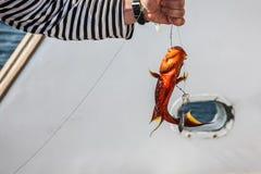 Närbild av havsaborren för röd korall i händerna av en fiskare arkivfoto