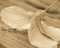 N?rbild av hibiskusblom i Sepia royaltyfria bilder