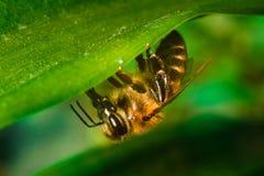 Närbild av honungbiet på det gröna bladet arkivbild