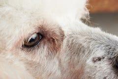 Närbild av hundögat med bindhinneinflammation arkivfoton