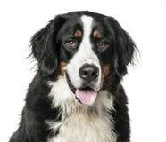 Närbild av hunden för Bernese berg som flåsar som isoleras på vit Arkivfoto