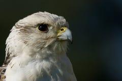Närbild av huvudet av gyrfalcon i profil Royaltyfria Foton