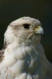 Närbild av huvudet av gyrfalcon som ser upp Arkivfoton