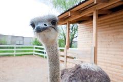 Närbild av huvudet av strutsen bakgrundsstruts head ostrich Arkivfoto
