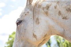 Närbild av huvudet av en vit häst royaltyfri foto