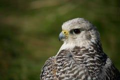 Närbild av huvudet och vingar av gyrfalcon Fotografering för Bildbyråer