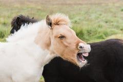 Närbild av isländska hästar på det öppna fältet med munnen som är öppen som, om skratta ut högt, eller att skrika royaltyfri foto