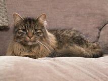 Närbild av Jesse katten på en stol Arkivbilder