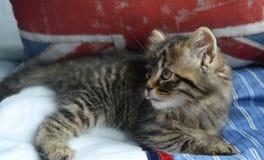 Närbild av Jesse kattungen som ut klibbar hennes tunga Arkivfoton