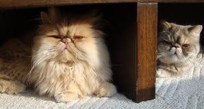 Närbild av katter Arkivbild