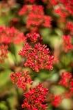 Närbild av klungan av röda blommor (röda Kalanchoe) Arkivbild