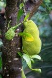 Närbild av korvträdet med stor grön frukt Royaltyfri Fotografi