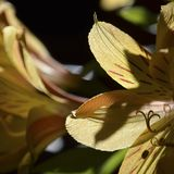 Närbild av kronblad för daglilja arkivbilder