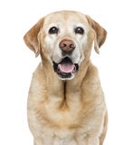 Närbild av labrador, 11 gamla år Arkivfoton